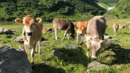 3 cows looking curiously to the fotographer